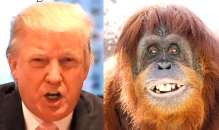 orangutan trump